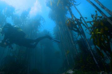 scientific diver in kelp forest
